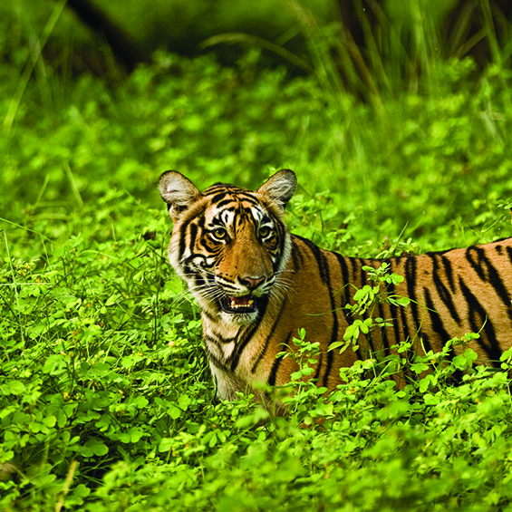 Tiger Train: The Parks of Central India